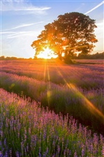 Lavender Garden of the sunset iPhone wallpaper