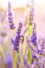 Lavender flowers, bee iPhone wallpaper