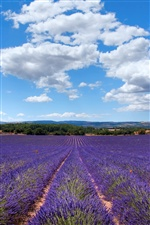 Lavender of Provence, France iPhone Wallpaper