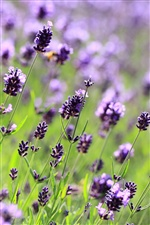 Lavender purple flowers, field, meadow iPhone Wallpaper