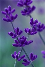 Lavender purple petals macro, blurred background iPhone wallpaper