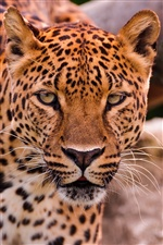 Leopard face and eyes, predator animals iPhone wallpaper