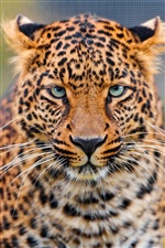Leopard face close-up iPhone wallpaper