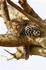 Leopard have a rest in the tree iPhone wallpaper