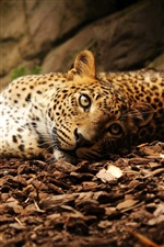 Leopard lying ground iPhone wallpaper