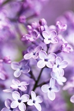 Lilac bloom, purple blurry background iPhone wallpaper