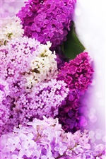 Lilac flowers purple and white petals iPhone wallpaper