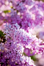 Lilac spring bloom, flowers close-up iPhone wallpaper