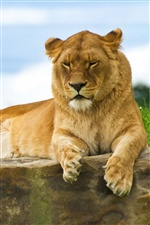 Lion lying on a stone iPhone wallpaper