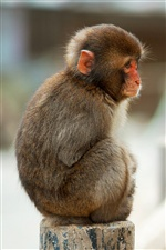 Lonely macaque monkey iPhone wallpaper