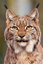 Lynx close-up iPhone Wallpaper