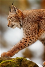 Lynx hunting, predator animals iPhone wallpaper