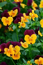 Many pansy flowers iPhone Wallpaper