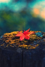 Maple leaf, tree stump, autumn iPhone wallpaper
