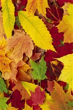 Maple leaves autumn season iPhone wallpaper