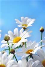 Flowers photography, daisies, petals, blue sky iPhone wallpaper
