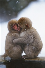 Monkeys embrace in the cold winter iPhone wallpaper