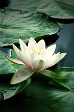 Nature flower, white water lily iPhone wallpaper