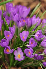 Nature spring, purple flowers close-up iPhone Wallpaper