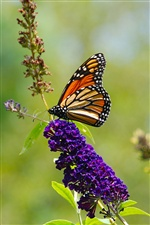 Nature summer, butterfly, purple flowers iPhone Wallpaper