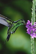 Nectar of hummingbird iPhone wallpaper