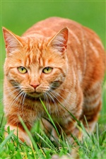 Orange cat on green grass iPhone Wallpaper