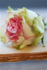 Old book with a rose flower iPhone wallpaper