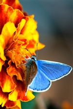 Orange flowers with blue butterfly iPhone Wallpaper