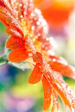 Orange gerbera flower petals, water drops iPhone wallpaper