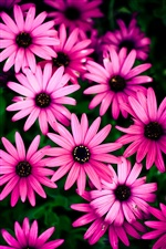Pink chrysanthemum, beautiful flowers iPhone wallpaper