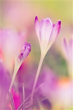 Pink crocuses, blurred background iPhone wallpaper