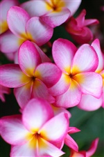 Pink flowers close-up, plumeria iPhone Wallpaper