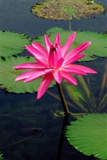 Pink water lily flower, lake water iPhone wallpaper