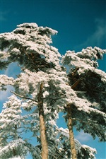 Pine trees frost in snow winter, blue sky iPhone wallpaper