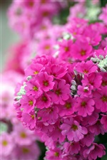 Pink phlox flowers macro iPhone wallpaper
