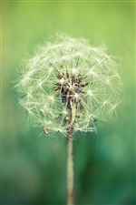 Plants close-up, dandelion, green blur background iPhone wallpaper