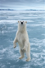 Polar bear in the cold Arctic ice iPhone wallpaper