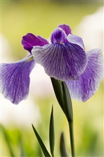 Purple iris, flower close-up iPhone wallpaper