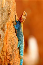 Rainbow Lizard iPhone wallpaper