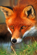 Red fox face and eyes iPhone wallpaper