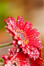 Red gerbera flowers after rain iPhone Wallpaper