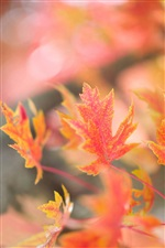 Red maple leaves, autumn, glare background iPhone Wallpaper