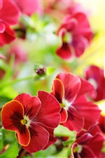 Red pansy flowers macro iPhone Wallpaper
