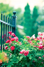 Red rose flowers, iron fence iPhone wallpaper