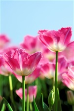 Pink tulip flowers bloom in spring iPhone Wallpaper