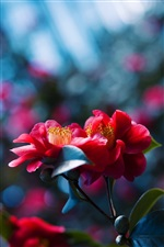 Red flowers blossom, blue blurred background iPhone Wallpaper