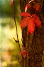 Red leaf macro, blurred background iPhone wallpaper