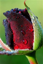 Rose bud with dew iPhone Wallpaper