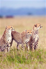 Savanna family of cheetahs iPhone wallpaper