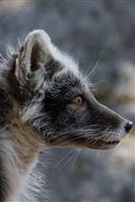 Side view of black Arctic fox iPhone wallpaper